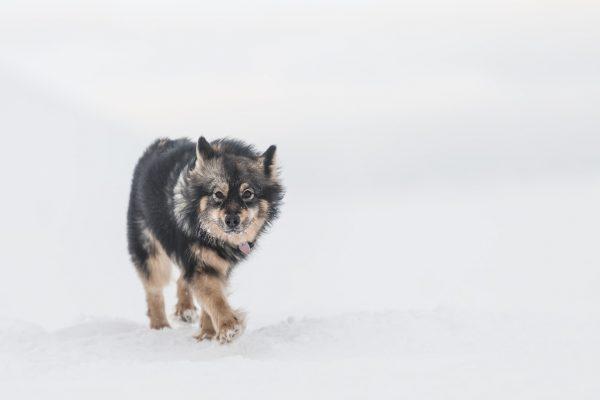 hilla the snowkite dog